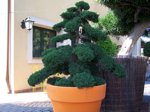 Bonsai Junípero Chino - Juniperus Chinensis - Natura Garden