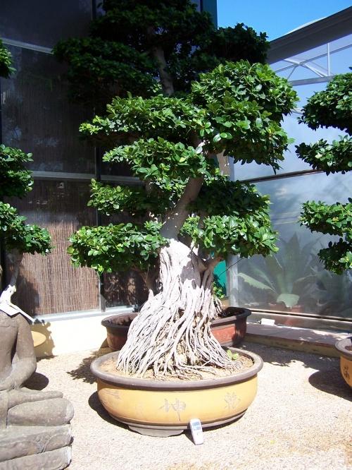 Bonsai Ficus Compacta con Raices aereas - Natura Garden