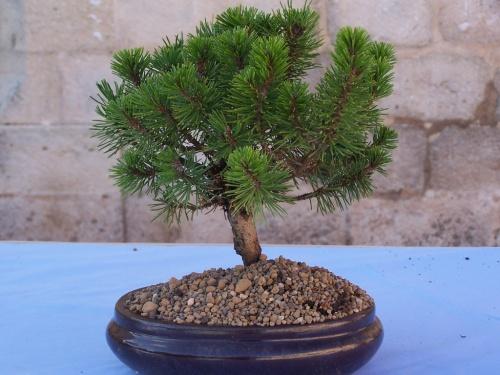 Bonsai Pino negro - Pinus Mugo - Assoc. Bonsai Cocentaina