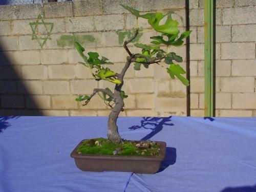 Bonsai Higuera - Ficus Carica - Assoc. Bonsai Cocentaina