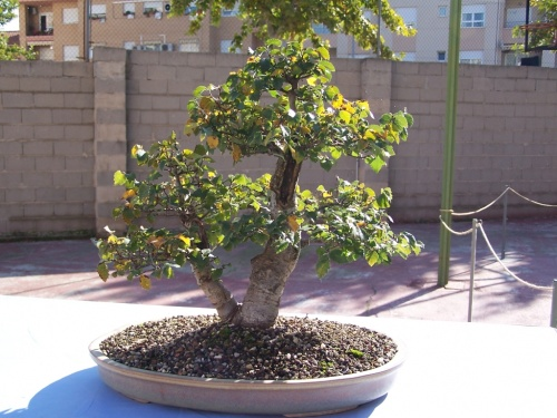 Bonsai Ulmus Pumila - Olmo - Assoc. Bonsai Cocentaina