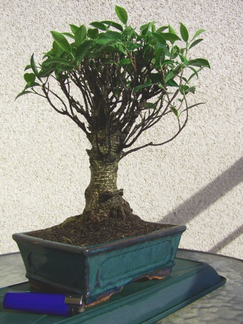 Bonsai Ficus Retusa recien comprado - Miguel