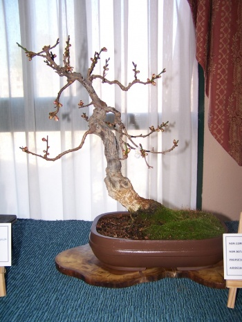 Bonsai Cerezo - Cirerer - Prunus Mume - Assoc. Bonsai Muro