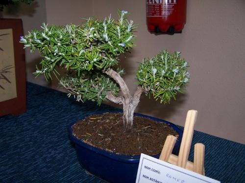Bonsai Romer - Romero - Rosmarinus Officinalis - Assoc. Bonsai Muro