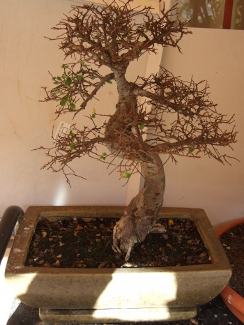 Bonsai ZELKOVA - PEDRO GALLEGO