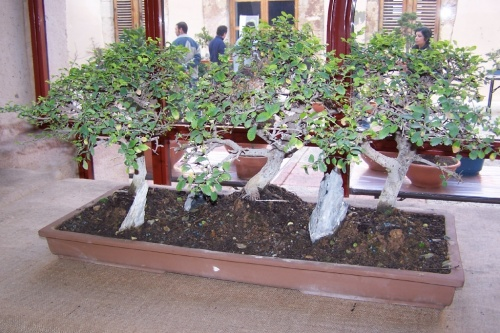 Bonsai Bosque Olmo Chino - Ulmus Parviflora - AVBONSAI