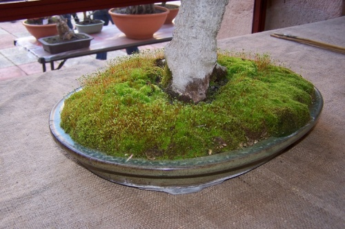 Bonsai Arce de Mompelier - Acer Mompellier - AVBONSAI