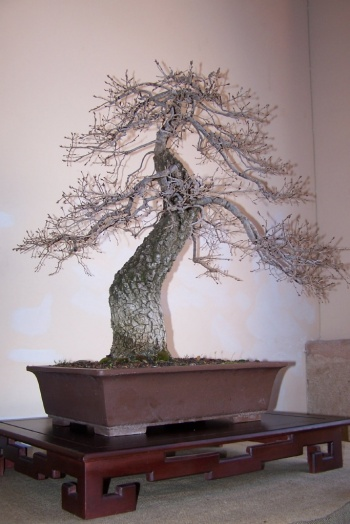 Bonsai Roble Valenciano - Quercus Faginea - AVBONSAI