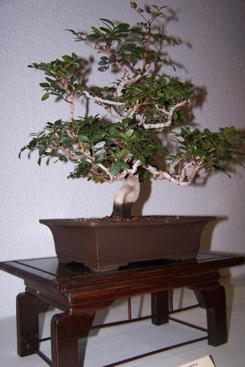 Bonsai Lentisco - Pistacia Lentiscus - cbvillena