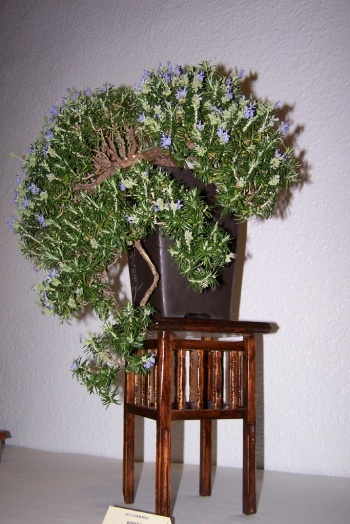 Bonsai Romero - Romarius Officinalis - cbvillena