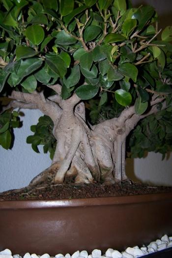 Bonsai Ficus - Ficus Retusa - cbvillena