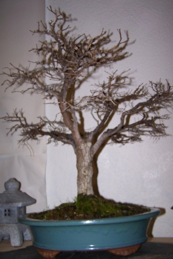 Bonsai Olmo - Ulmus Minor - cbvillena