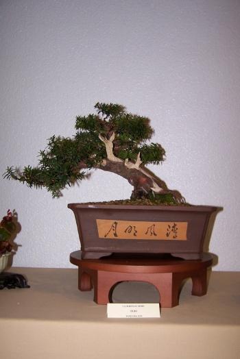 Bonsai Tejo - Taxus Bacata - cbvillena