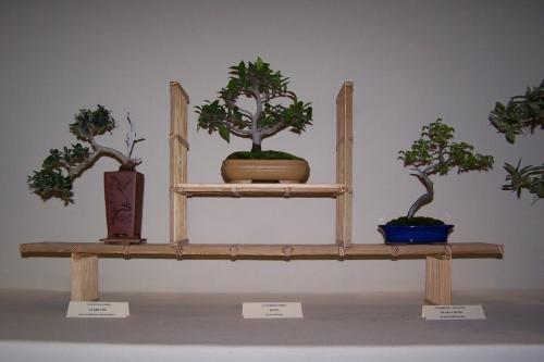 Bonsai Acebuche - Ficus Retusa - Olmo Chino - cbvillena
