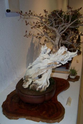 Bonsai Un Granado del Club bonsai Alicante - cbvillena