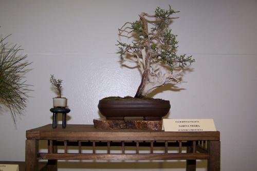 Bonsai Sabina Negra - Juniperus Phoenicea - cbvillena