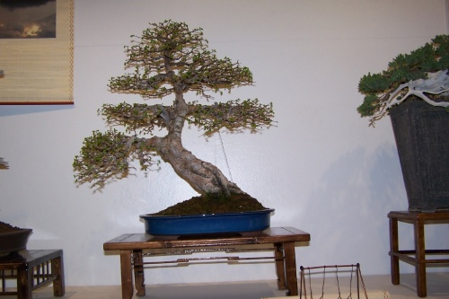 Bonsai Olmo Chino en Villena ( Club Bonsai ) - cbvillena