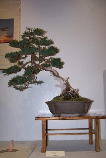 Bonsai Sabina - Juniperus SP - cbvillena