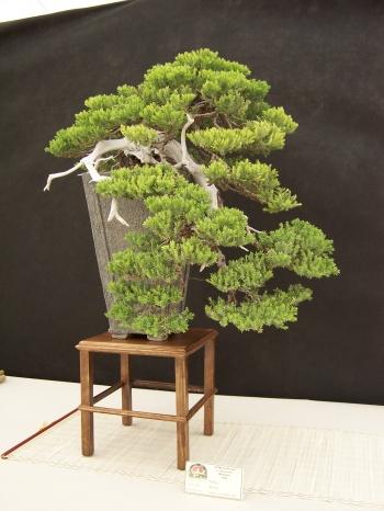 Bonsai Sabina - Juniperus Procumbens nana - Lado - CBALICANTE