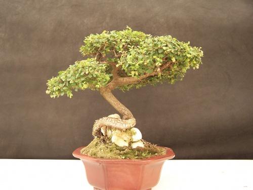 Bonsai Olmo Chino - Ulmus Parvifolia - CBALICANTE