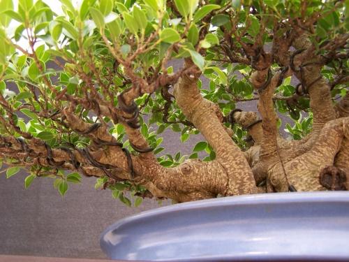Bonsai Ficus Retusa ( Alambrado ) - CBALICANTE