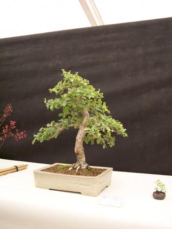 Bonsai Roble Valenciano - Quercus Faginea - CBALICANTE