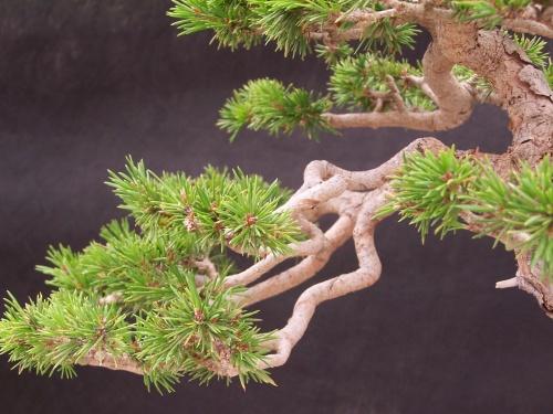 Bonsai Pino Albar - Pi Roig - Pinus Sylvestris - CBALICANTE