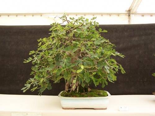 Bonsai Asociacion Irta. Higuera o Ficus Carica - CBALICANTE