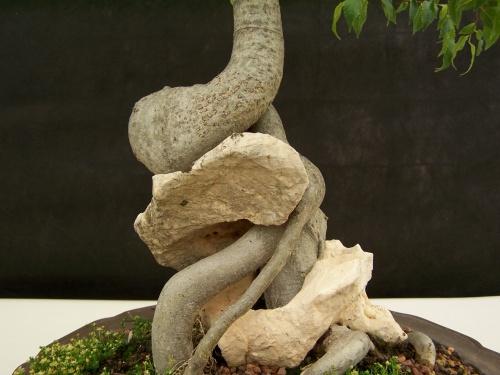 Bonsai Almez - LLedoner - Cetis Australis ( Tronco y Roca ) - CBALICANTE