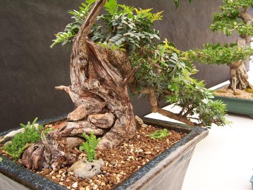 Bonsai Lentisco - Lentiscle - Pistacea Lentiscus - CBALICANTE