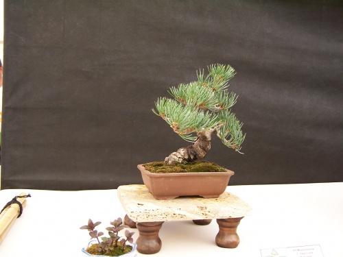 Bonsai Pino de 5 agujas - Pinus Pentaphila - CBALICANTE
