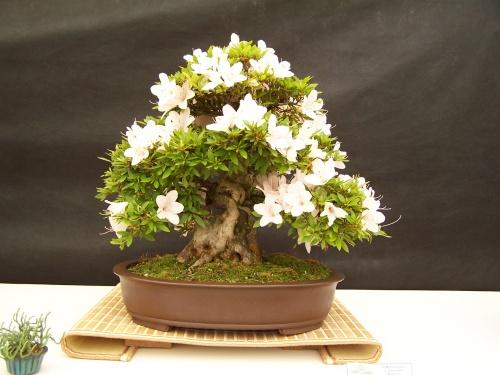 Bonsai Azalea - Rhododendron Indicum - CBALICANTE