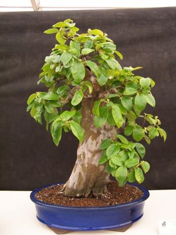 Bonsai Membrillero Chino - Pseudocidonia Chinensis - CBALICANTE