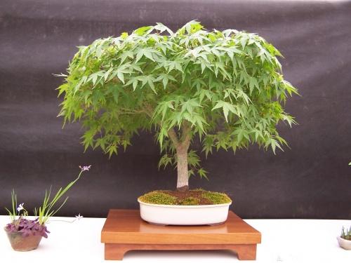 Bonsai Arce Japonés - Acer Palmatum - CBALICANTE