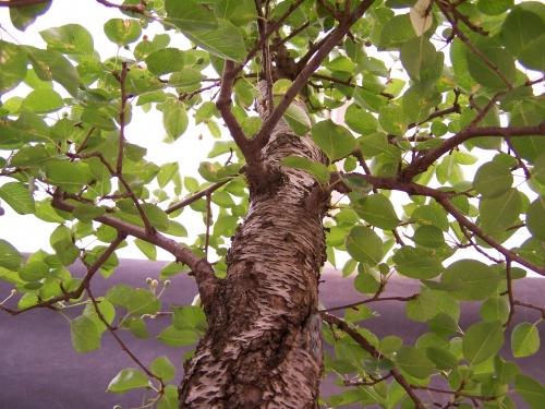 Bonsai Cerezo - Cirerer - Prunus Mahaleb ( Ramas ) - CBALICANTE