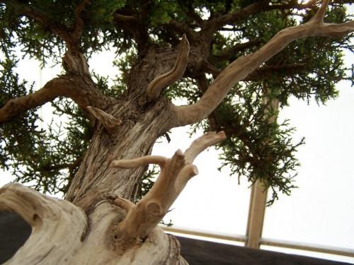 Bonsai Sabina Albar - Juniperus Thurifera - CBALICANTE