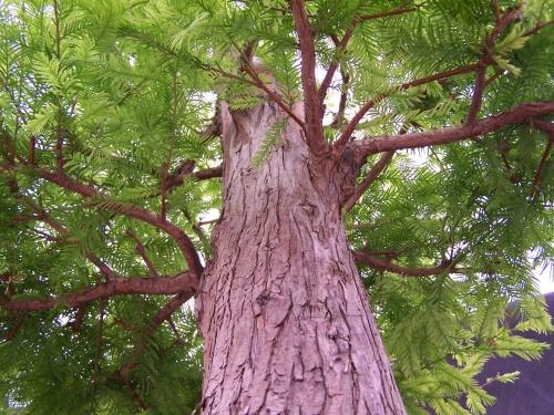 Bonsai Ciprés de los Pantanos - Taxodium Distichum - CBALICANTE