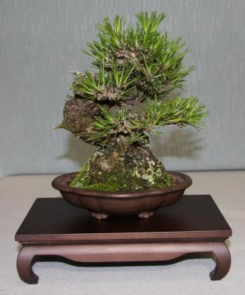 Bonsai 872 - bonsaipaterna