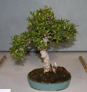 Bonsai 876 - bonsaipaterna