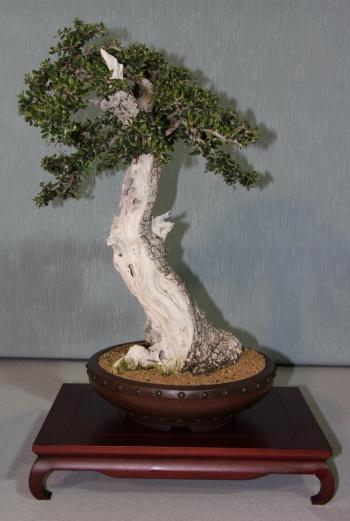Bonsai 880 - bonsaipaterna