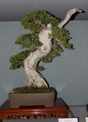Bonsai 888 - bonsaipaterna