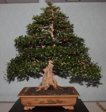 Bonsai 892 - bonsaipaterna