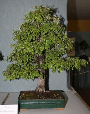 Bonsai 896 - bonsaipaterna