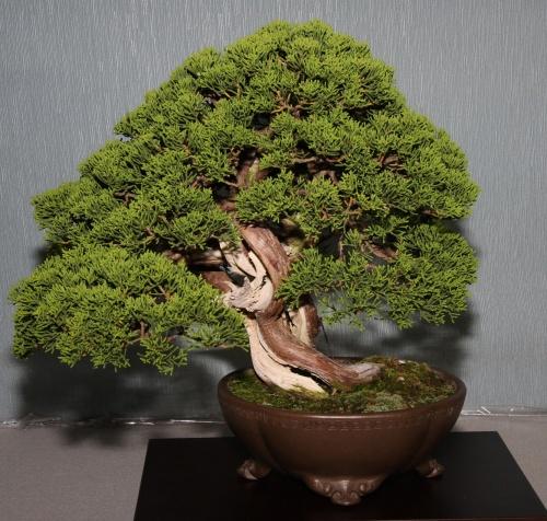 Bonsai 900 - bonsaipaterna