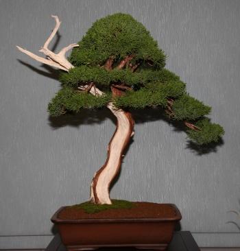 Bonsai 904 - bonsaipaterna