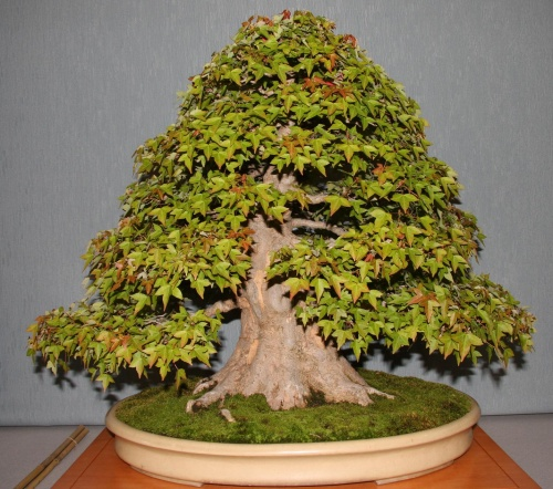 Bonsai GANADOR PREMIO JURADO - bonsaipaterna