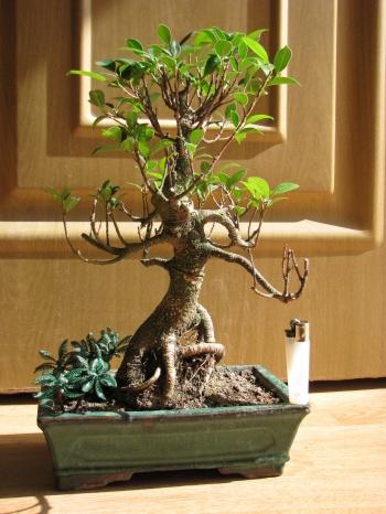 Bonsai Ficus Retusa - Viendo proporción - miguelangel