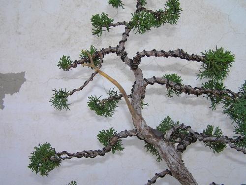 Bonsai Junipero1 Agosto2008 - Pedroboticario