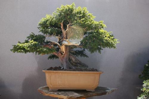 Bonsai Tejo de 400 años - Fran Rives