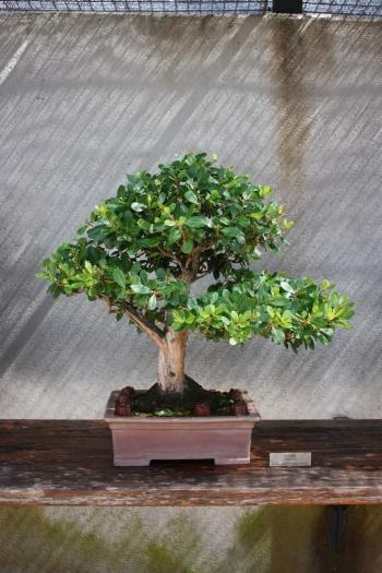 Bonsai Madroño donado por Felipe Gonzalez - Fran Rives